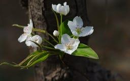 De bloem van de peer stock foto's