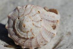 Vooraanzicht van Bliksempuist Shell, Sinistrofulgur-perversum, op een strand wordt gevonden dat Royalty-vrije Stock Foto's