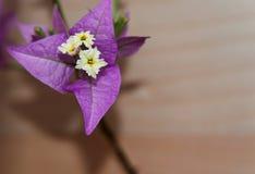 Vooraanzicht van bougainvillea Royalty-vrije Stock Afbeelding