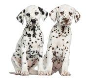 Vooraanzicht van Dalmatische puppy die, het onder ogen zien zitten Royalty-vrije Stock Foto