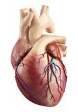Vooraanzicht van de anatomie van hart binnenlandse struct vector illustratie