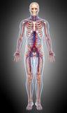 Vooraanzicht Van de bloedsomloop van mannelijk lichaam in grijs stock illustratie