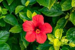 Vooraanzicht van een bloeiende rode bloem royalty-vrije stock afbeeldingen