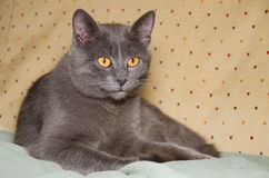 Vooraanzicht van een Chartreux-katjeszitting stock foto's