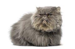 Vooraanzicht van een knorrige Perzische kat, het liggen, die weg eruit zien Stock Foto's