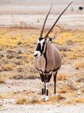 Vooraanzicht van gemsbok, gemsbuck, Oryx-gazella, antilope Inwoner aan de Woestijn van Kalahari, Namibië en Botswana, Zuiden royalty-vrije stock foto's