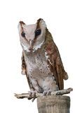 Vooraanzicht van Grote Gehoornde Uil, Bubo Virginianus Subarcticus, st stock fotografie