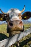 Vooraanzicht van het hoofd van een koe Royalty-vrije Stock Foto's