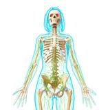Vooraanzicht van Lymfatisch systeem royalty-vrije illustratie