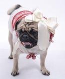 Vooraanzicht van Pug Royalty-vrije Stock Fotografie