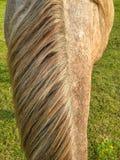Vooraanzicht van roan met een laag bedekte paardmanen, met weiland op achtergrond stock afbeelding