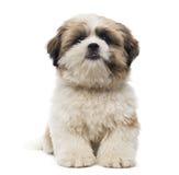 Vooraanzicht van Shih Tzu-puppy het liggen stock afbeelding