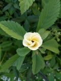 Voorbarige gele bloem Royalty-vrije Stock Foto's