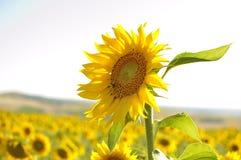 Voorgrond van een grote zonnebloem Stock Foto