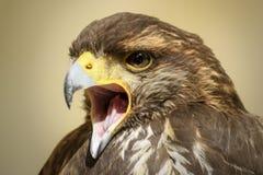 Voorgrond van een mooie roofvogel royalty-vrije stock afbeelding