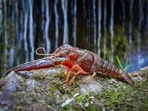 voorgrond van een rode rivierkreeft met een achtergrond van vage watercascade royalty-vrije stock fotografie