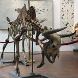 Voorhistorisch Bison Skeleton bij de Fossielen & de Mineralen van GeoDecor Stock Afbeeldingen