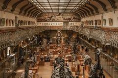 Voorhistorische skeletten en fossielen bij Galerij van Paleontologie en Vergelijkende Anatomie in Parijs Stock Afbeelding