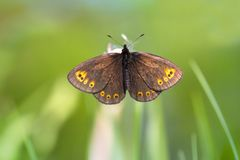 Voorjaarserebia, Woodland Ringlet, Erebia medusa stock photo