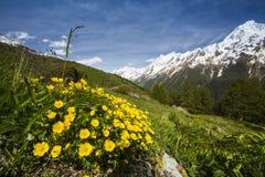 Voorjaarsganzerik, Alpine Cinquefoil, Potentilla crantzii royalty free stock image
