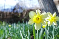 Voorloper van de Lente, dubbele Narcissen royalty-vrije stock foto's