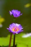 Voorraadbeeld van de bloem van de Bloesemlotusbloem in Japanse vijver royalty-vrije stock foto's