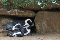 Voortplanting van pinguins Stock Foto