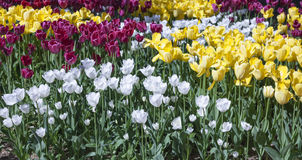 Voortuin met tulpen Stock Fotografie