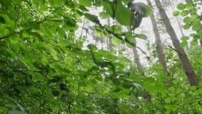 Voorwaarts POV dat in wild hout loopt dat omhoog de bomen en de bladeren kijken stock footage