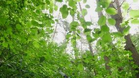 Voorwaarts POV dat in wild hout loopt dat omhoog de bomen en de bladeren kijken stock videobeelden