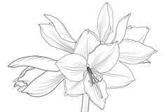 Voorwerp van de hippeastrum het bloeiende bloem van de Lillyamaryllis royalty-vrije illustratie