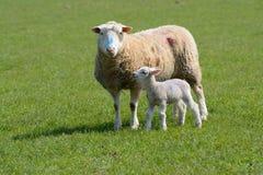 Voorzichtig ooi en lam op een gebied stock foto