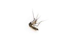 Voorzichtig zijn van mug, drager van knokkelkoortskoorts, stierf mug op witte achtergrond royalty-vrije stock fotografie