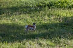 Voorzichtige Antilope stock fotografie