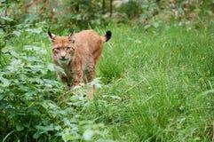 Voorzichtige lynx die zich in het gras bevinden Royalty-vrije Stock Afbeelding