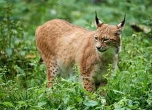 Voorzichtige lynx die zich in het gras bevinden Royalty-vrije Stock Foto's
