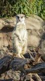 Voorzijde op dichte omhooggaand van een meerkat stock fotografie