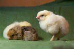 Vor Hühner brüteten in einem Hauptbrutkasten einem Tag aus, lizenzfreies stockbild