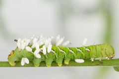 Vor kurzem aufgetauchte Wespenkokons auf Larve Stockbild