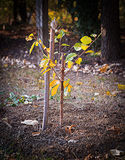 Vor kurzem gepflanzter junger Baum Stockbild