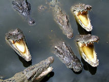 Voracious crocodile. Detail of crocodiles in water stock image