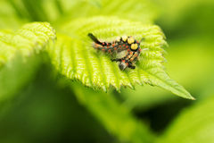 Voraciously. Butterfly caterpillar on a hazelnut leaf Stock Images