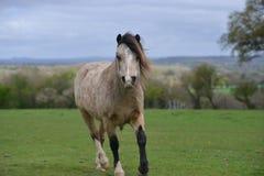Vorbei trottend, um Sie zu sehen, kommt ein Pony, die Kamera zu betrachten lizenzfreie stockfotografie