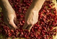 Vorbereiten der rote Johannisbeertorte in einer Metalltortenwanne Hände von woomen Stockfoto