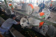 Vorbereitung für Eid al-Adha in Indonesien Lizenzfreie Stockfotos