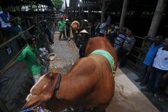 Vorbereitung für Eid al-Adha in Indonesien Stockfotografie