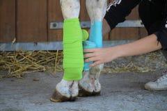 Vorbereitung und Platzierung von zwei Verbänden von grünen und blauen Farben auf den vorhergehenden Beinen des Schimmels Stockfoto