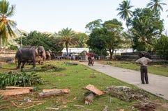 Vorbereitungen für das Festival Esala Perahera in Kandy auf Sri Lanka Stockbild