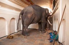 Vorbereitungen für das Festival Esala Perahera in Kandy auf Sri Lanka Stockbilder