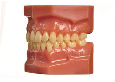 Vorbildliche Zähne und Gummis auf Weiß Stockbilder